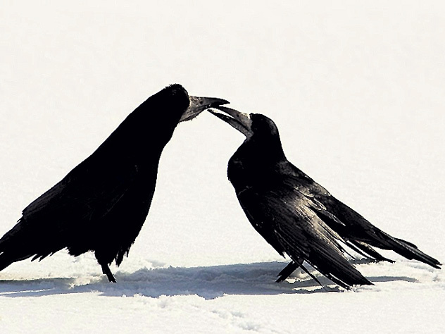 Грачи не улетали. Почему птицы начали зимовать на московских улицах