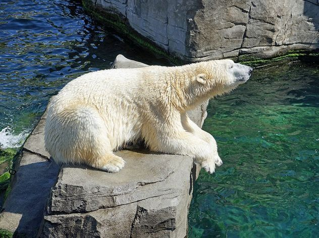Белая медведица умерла в зоопарке от «разбитого сердца»
