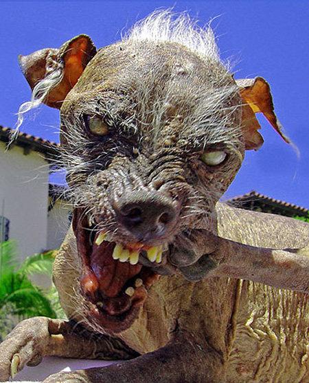 Дуг может стать самой страшной собакой в мире - фото The Sun