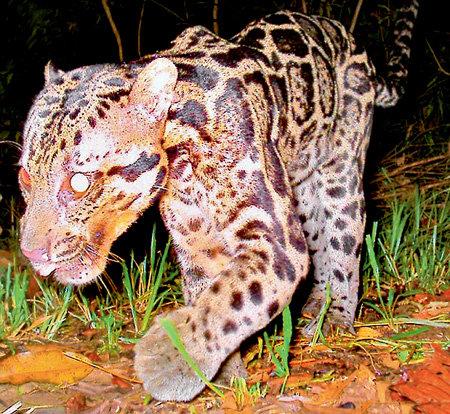 Вес сунданского дымчатого леопарда около 20 кг...
