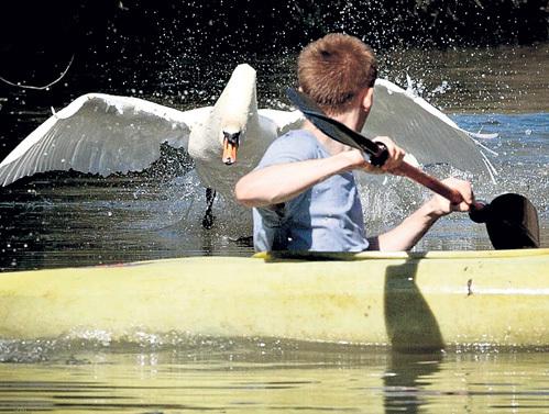 Лебедь врезался в лодку, набрав скорость