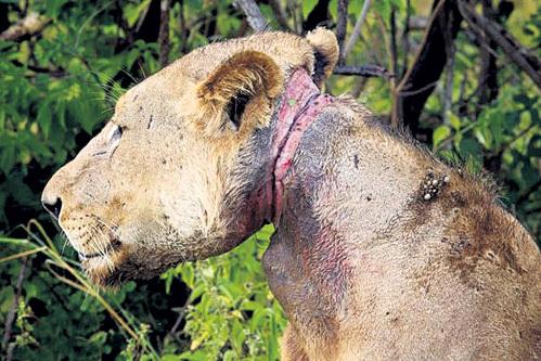 Проволока душила льва три года