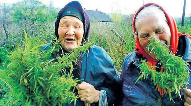 В русских селениях веками выращивали коноплю, из которой делали прочные верёвки и половики, и даже не подозревали, что у этой травы есть другое назначение. Фото с сайта joyreactor.cc