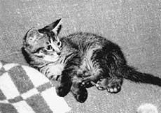 ШЕСТИЛАПИК КЕШКА: &#034неправильный&#034 кот. Вместо одной левой лапки у Кешки целых три