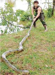 ЗВЕРЕВ: поймал анаконду за хвост