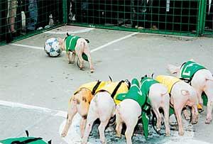 СВИНБОЛ: нападающий Пафнутий уверенно ведет пятачком мяч в ворота
