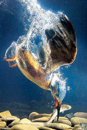 Крепкий клюв не оставляет рыбкам ни единого шанса