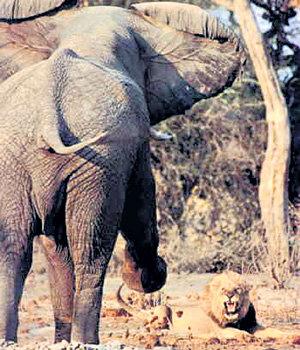 В поединке льва со слоном кто сильнее, - тот и царь зверей