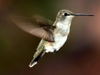 Учёные взяли за основу пташку-колибри...