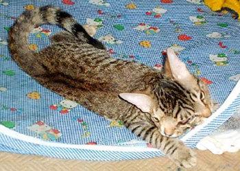 Одна из немногих выживших кошек с дипрозопом - ЛилБит из Аризоны
