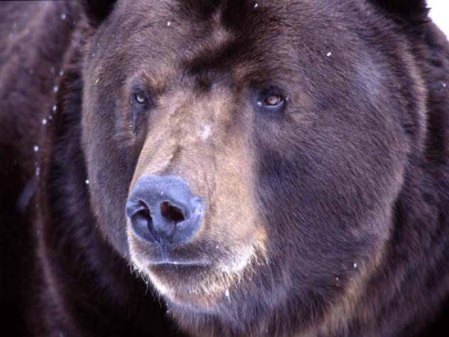 ФСБ считает медведей стратегическим ресурсом России