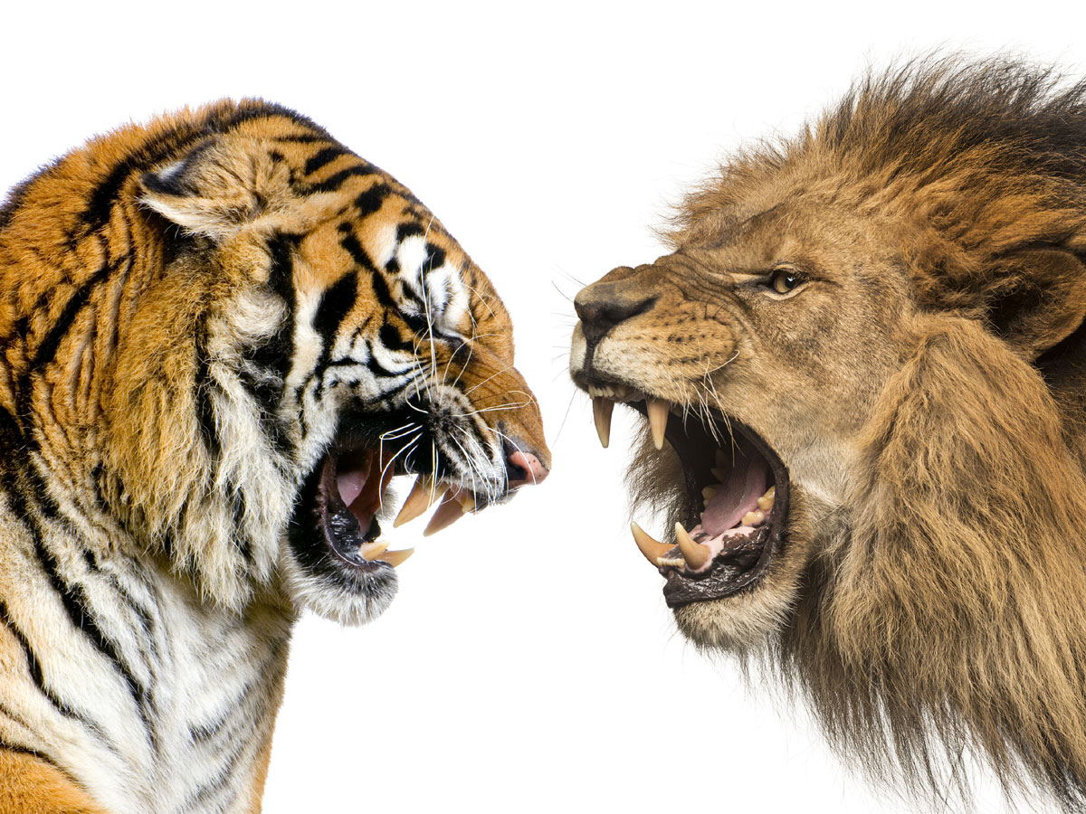 Дикая схватка: король саванн против хозяина тайги
